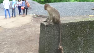 Baby monkey climbs mother's tail to scale wall - Video