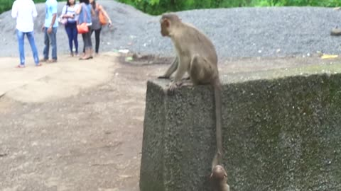 Baby monkey climbs mother's tail to scale wall