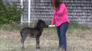 A Caring Woman Adopts a Two-Week-Old Mini Horse After His Mother Died of Fatal Complications