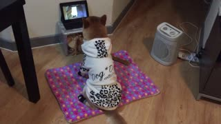 Shiba inu watching tv  - Video