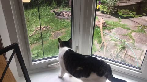 Curious cat really wants to chase that squirrel