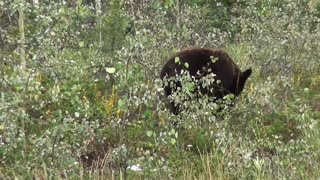 Black Bear Bear Canada Yukon Nature Animal World