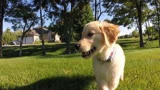 Golden Retriever puppy's first outdoor experience