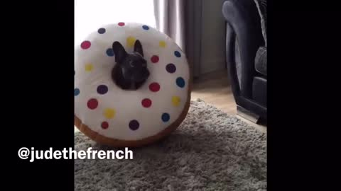 French Bulldog puppy loves his new donut toy