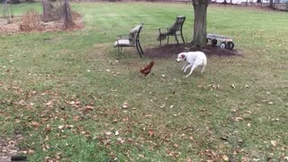 Loving dog plays with chicken best friend
