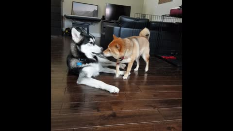 Husky And Shiba Inu Act Just Like Human Siblings