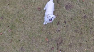 Golden Retriever Chases Drone