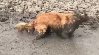 the dog is playing in a puddle