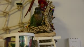 Parrot Dances to Cardi B Rap Music  - Video