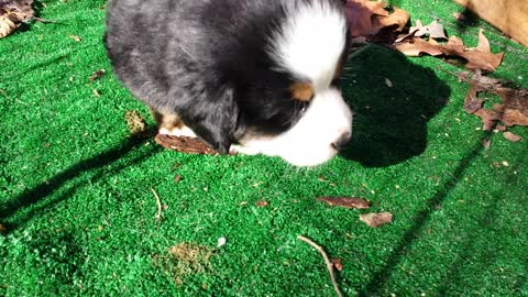 Funny Bernese Puppies