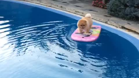 Shila the surfing pom