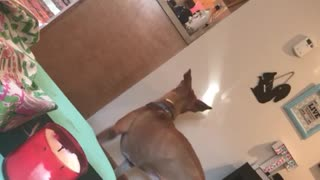 """Pit Bull """"sees the light"""", tries to chase it!"""