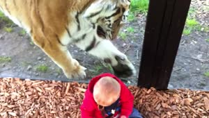 Curious tiger attempts to interact with baby - Video