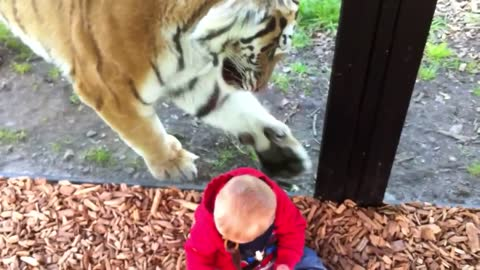 Curious Tiger Tries His Best To Interact With Baby