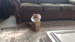 Cat models DIY paper plate e-collar - Video