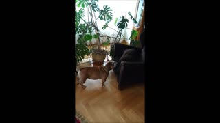 English Bulldog desperately tries to play with cat - Video
