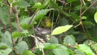 Watch the large colored bird's nest in the forest. Fun too