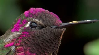 Anna's Hummingbird Flaunts Its Gorgeous Royal Feathers