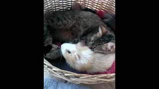 Cat and guinea pig share amazing friendship