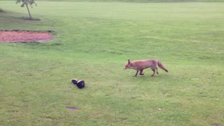 Fox Versus Golfer! - Video