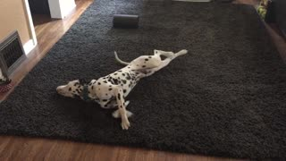 Dalmatian hilariously attempts to dry himself off - Video