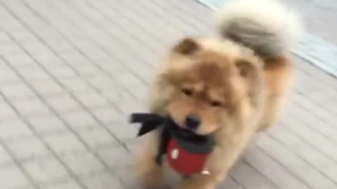 Chow Chow decides to take himself for a walk