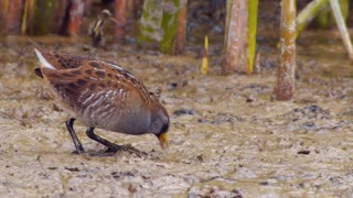 Sora and Virginia Rail: Cryptic Birds Of The Marsh - Video