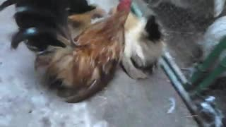 hen and rooster - Video