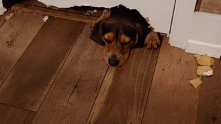 Hound dog attempts to literally chew his way through bathroom door