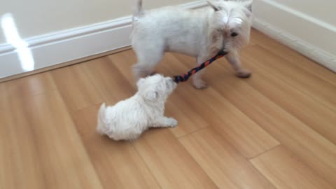 Ambitious puppy challenges bigger dog to tug-of-war
