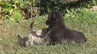 Beautiful dog and cat playing  - Video