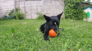 Adorable puppy can't believe his new ball squeaks - Video