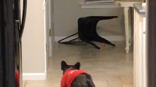 Ball Chasing Pooch Slides into Chair