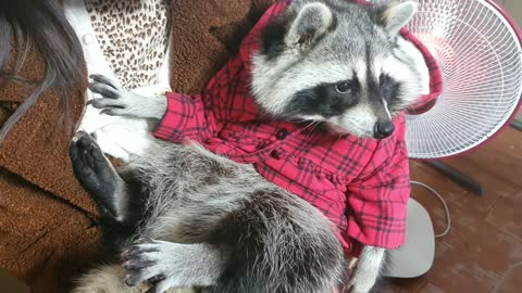 Pet raccoon wearing a hoodie cuddles with his owner