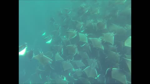 Hundreds of Mobula Rays Dancing in Ocean