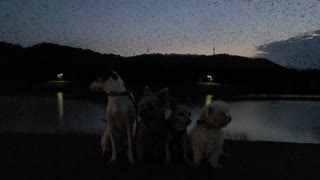 Dogs gather for picture beneath massive flock of crows