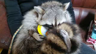 Is this the most pampered pet raccoon ever?