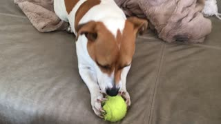 Dog hates tennis ball colour