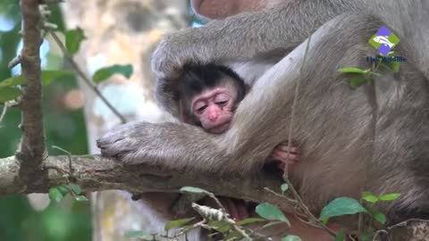 New born Baby monkeys keep quiet with mothers.