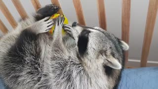Raccoon is eating a hamburger.