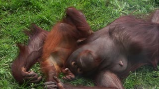 Adorable Playful Baby Orangutan Suckling