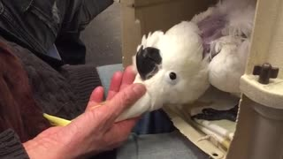 Petting white bird yellow top out of cage laying on back