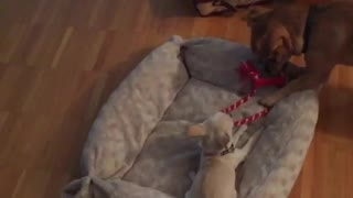 Big chihuahua vs. Little chihuahua... Who's stronger? - Video
