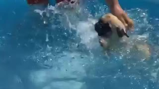 Amazing pug being a fantastic swimmer!
