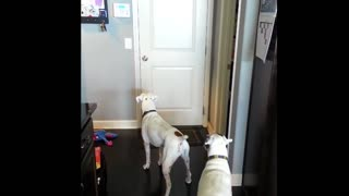 Boxers lovingly welcome their owner home - Video
