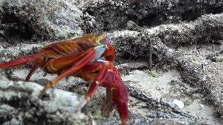 Colorful crab blows bubbles while it explores the mangroves for food