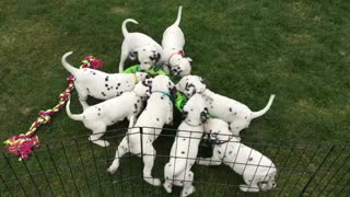 "12 Dalmatian puppies ""attack"" gigantic snake"