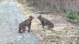 Two Lynxes in Ontario Have Intense Conversation
