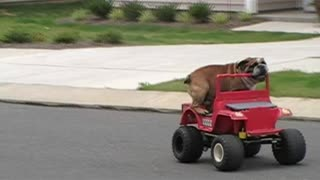 Bulldog Rides Kid's Jeep Toy Car Through The Neighborhood - Video