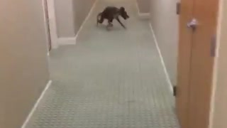 Dog running around in circles multiple times